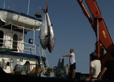 "Flash del documental premiat sobre sobrepesca ""The End of the Line"""
